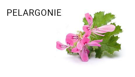 PELARGONIE_1
